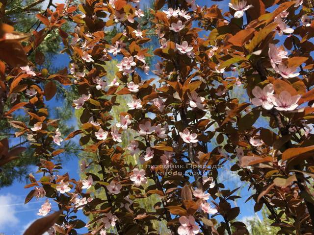 Слива цистена на штамбе (Prunus cistena) ФОТО Питомник растений Природа Priroda (23)
