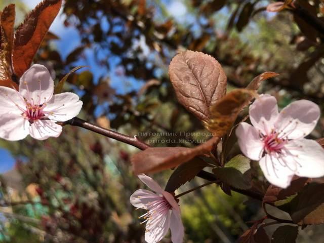 Слива цистена на штамбе (Prunus cistena) ФОТО Питомник растений Природа Priroda (24)