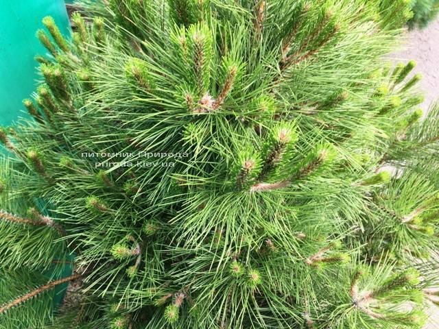 Сосна чёрная/австрийская (Pinus nigra/austriaca) ФОТО Питомник растений Природа Priroda (53)