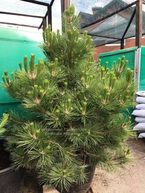 Сосна чёрная/австрийская (Pinus nigra/austriaca) ФОТО Питомник растений Природа Priroda (54)