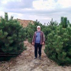 Сосна чёрная/австрийская (Pinus nigra/austriaca) ФОТО Питомник растений Природа Priroda
