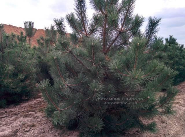 Сосна чёрная/австрийская (Pinus nigra/austriaca) ФОТО Питомник растений Природа Priroda (56)