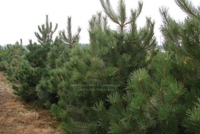 Сосна чёрная/австрийская (Pinus nigra/austriaca) ФОТО Питомник растений Природа Priroda (49)