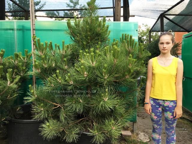 Сосна чёрная/австрийская (Pinus nigra/austriaca) ФОТО Питомник растений Природа Priroda (57)