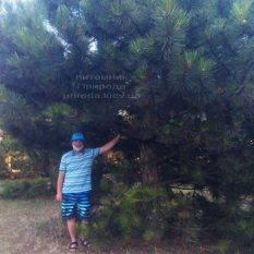 Сосна орегонская / жёлтая (Pinus ponderosa) ФОТО Питомник растений Природа Priroda (40)