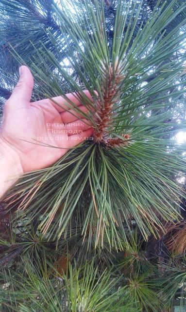 Сосна орегонская/жёлтая (Pinus ponderosa) ФОТО Питомник растений Природа Priroda