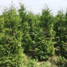 Туя западная Брабант (Thuja occidentalis Brabant) ФОТО Питомник растений Природа Priroda (19)