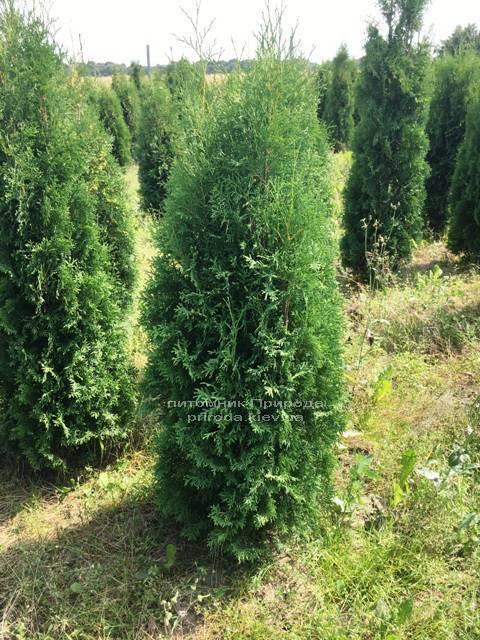 Туя западная колоновидная Колумна (Thuja occidentalis Columna) ФОТО Питомник растений Природа Priroda (62)