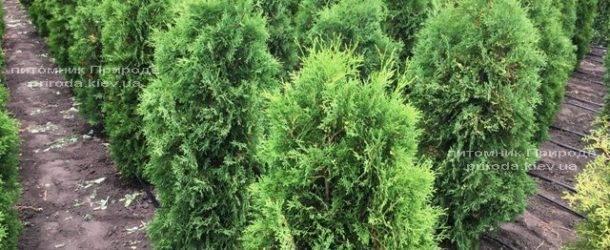 Туя западная колоновидная Колумна ЭКСТРА (Thuja occidentalis Columna) ФОТО Питомник растений Природа Priroda (64)