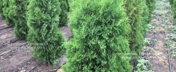 Туя западная колоновидная Колумна ЭКСТРА (Thuja occidentalis Columna) ФОТО Питомник растений Природа Priroda (66)