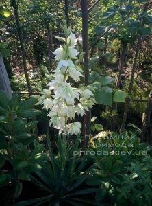 Юкка нитчатая (Yucca filamentosa) ФОТО Питомник растений Природа Priroda (1)