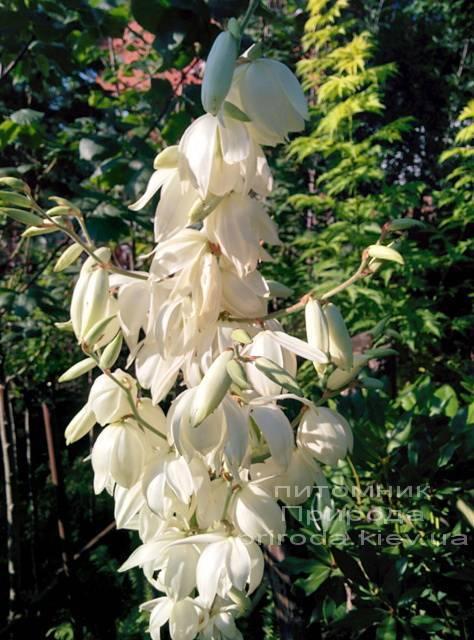 Юкка нитчатая (Yucca filamentosa) ФОТО Питомник растений Природа Priroda (2)