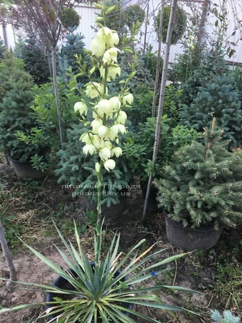 Юкка нитчатая (Yucca filamentosa) ФОТО Питомник растений Природа Priroda