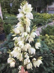 Юкка нитчатая (Yucca filamentosa) ФОТО Питомник растений Природа Priroda (5)