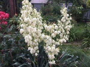 Юкка нитчатая (Yucca filamentosa) ФОТО Питомник растений Природа Priroda (8)