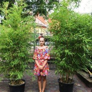 Бамбук / Листоколосник золотистожелобчатый (Phyllostachys aureosulcata) ФОТО Питомник растений Природа Priroda (9)
