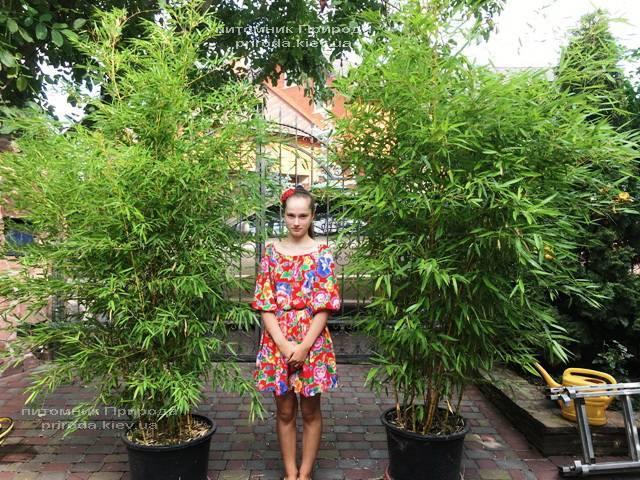 Бамбук / Листоколосник золотистожелобчатый (Phyllostachys aureosulcata) ФОТО Питомник растений Природа Priroda