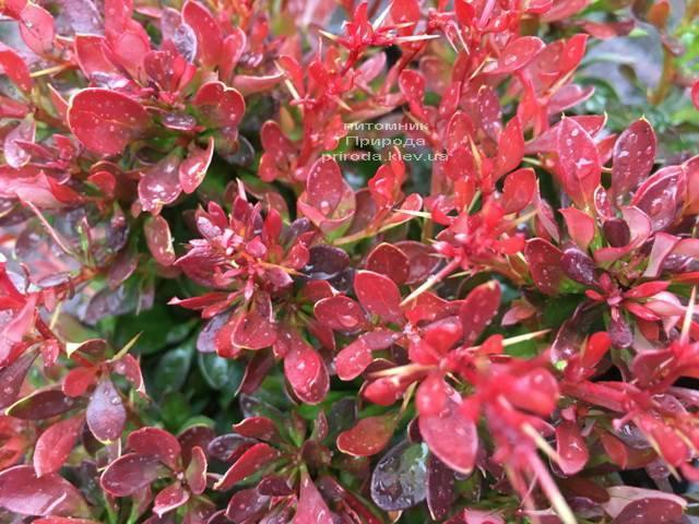 Барбарис Тунберга Багатель (Berberis thunbergii Bagatelle) ФОТО Питомник растений Природа Priroda