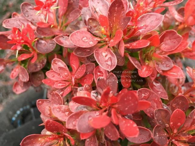 Барбарис Тунберга Лутин Руж (Berberis thunbergii Lutin Rouge) ФОТО Питомник растений Природа Priroda