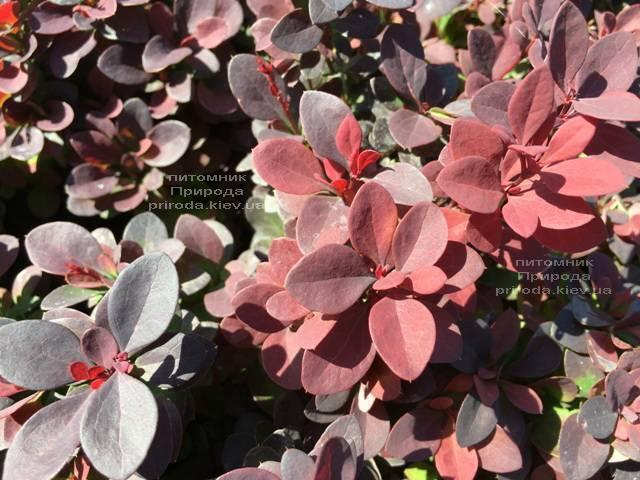 Барбарис Тунберга Ред ДиДжей (Berberis thunbergii Red DJ) ФОТО Питомник растений Природа Priroda (74)