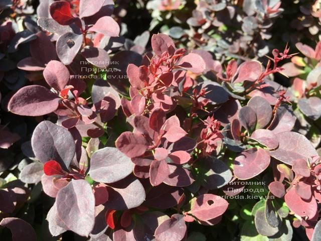 Барбарис Тунберга Ред ДиДжей (Berberis thunbergii Red DJ) ФОТО Питомник растений Природа Priroda (75)