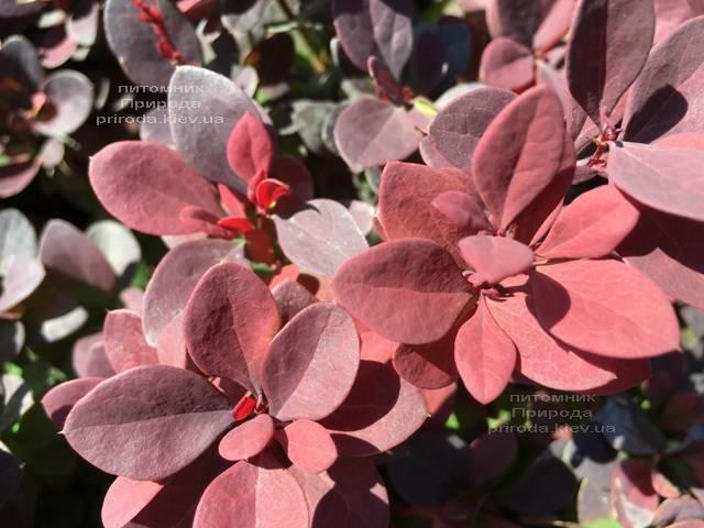 Барбарис Тунберга Ред ДиДжей (Berberis thunbergii Red DJ) ФОТО Питомник растений Природа Priroda (76)