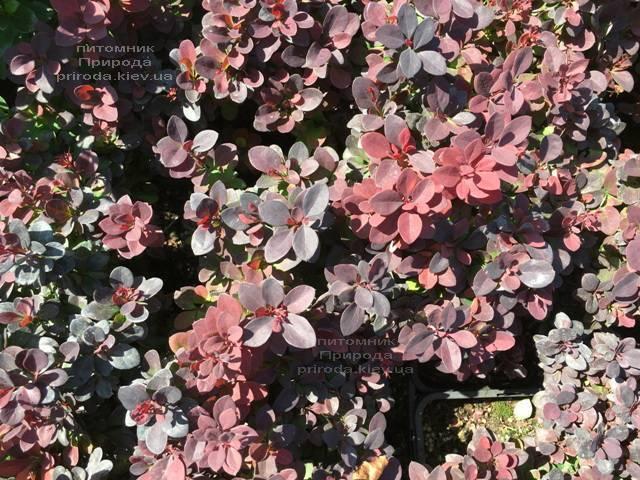 Барбарис Тунберга Ред ДиДжей (Berberis thunbergii Red DJ) ФОТО Питомник растений Природа Priroda (77)