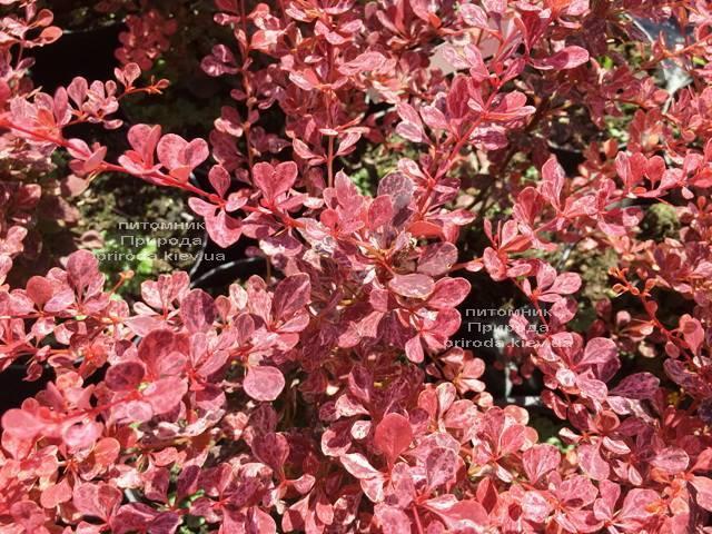 Барбарис Тунберга Роуз Глоу (Berberis thunbergii Rose Glow) ФОТО Питомник растений Природа Priroda (87)