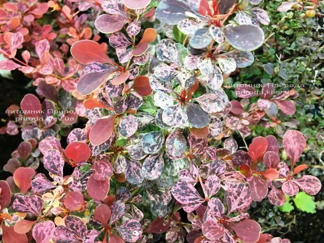 Барбарис Тунберга Роуз Глоу (Berberis thunbergii Rose Glow) ФОТО Питомник растений Природа Priroda (88)