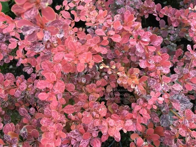 Барбарис Тунберга Роуз Глоу (Berberis thunbergii Rose Glow) ФОТО Питомник растений Природа Priroda (89)