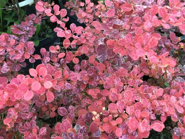 Барбарис Тунберга Роуз Глоу (Berberis thunbergii Rose Glow) ФОТО Питомник растений Природа Priroda (90)