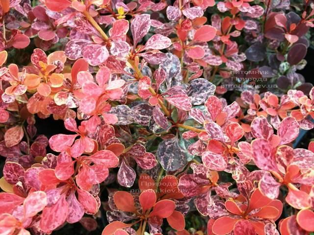 Барбарис Тунберга Роуз Глоу (Berberis thunbergii Rose Glow) ФОТО Питомник растений Природа Priroda