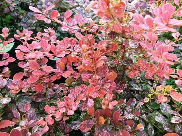 Барбарис Тунберга Роуз Глоу (Berberis thunbergii Rose Glow) ФОТО Питомник растений Природа Priroda (93)