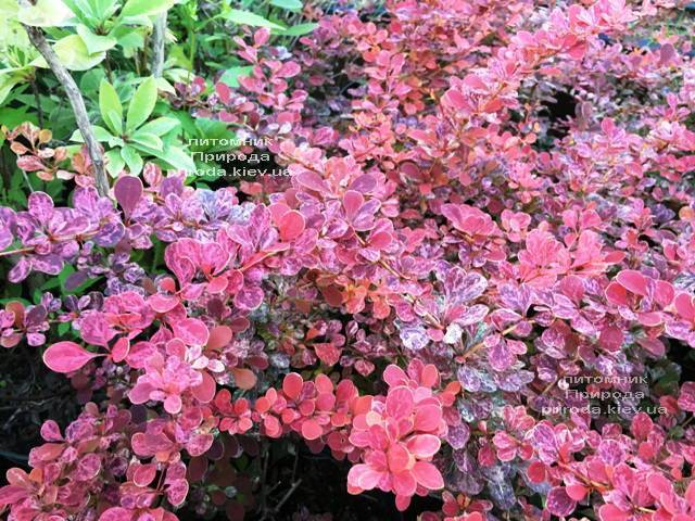 Барбарис Тунберга Роуз Глоу (Berberis thunbergii Rose Glow) ФОТО Питомник растений Природа Priroda (94)