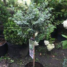 Бересклет Форчуна Эмералд Гаети (Euonymus fortunei Emerald Gaiety) ФОТО Питомник растений Природа Priroda
