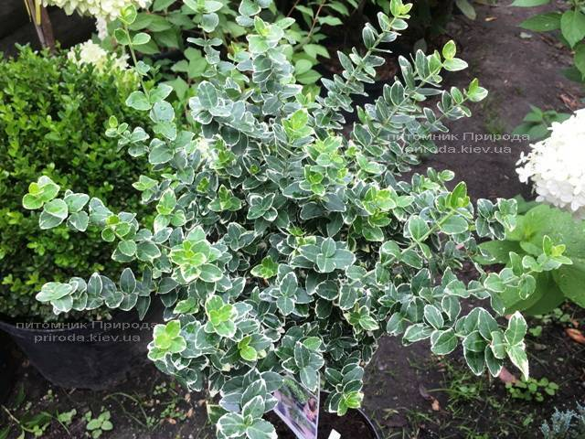 Бересклет Форчуна Эмералд Гаети (Euonymus fortunei Emerald Gaiety) ФОТО Питомник растений Природа Priroda (12)