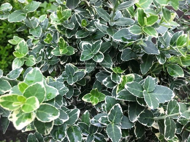 Бересклет Форчуна Эмералд Гаети (Euonymus fortunei Emerald Gaiety) ФОТО Питомник растений Природа Priroda (13)