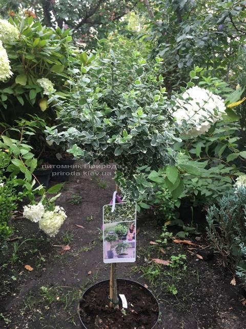 Бересклет Форчуна Эмералд Гаети (Euonymus fortunei Emerald Gaiety) ФОТО Питомник растений Природа Priroda (14)