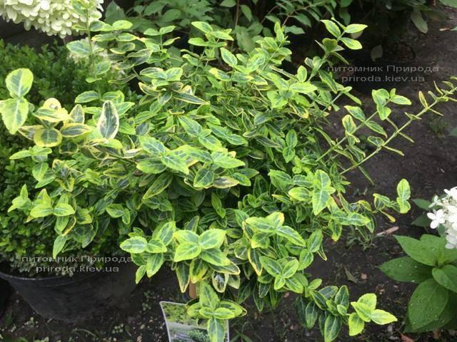 Бересклет Форчуна Эмералд Голд (Euonymus fortunei Emerald Gold) ФОТО Питомник растений Природа Priroda