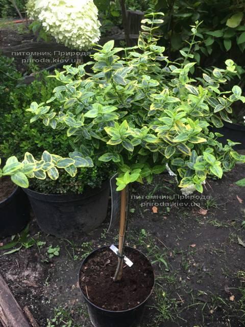 Бересклет Форчуна Эмералд Голд (Euonymus fortunei Emerald Gold) ФОТО Питомник растений Природа Priroda (19)