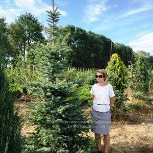 Ель голубая Глаука (Picea pungens Glauca) ФОТО Питомник растений Природа Priroda (150)