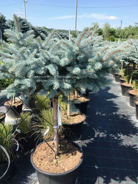 Ель колючая голубая Глаука Глобоза (Picea pungens Glauca Globosa) на штамбе ФОТО Питомник растений Природа Priroda (125)