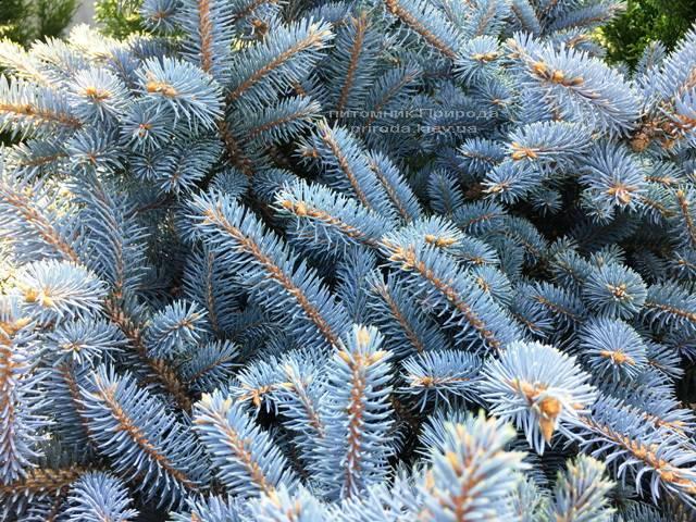 Ель колючая голубая Глаука Глобоза (Picea pungens Glauca Globosa) на штамбе ФОТО Питомник растений Природа Priroda