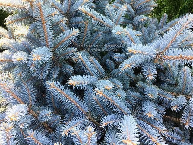 Ялина колюча блакитна Глаука Глобоза (Picea pungens Glauca Globosa) на штамбі ФОТО Розплідник рослин Природа Priroda (135)