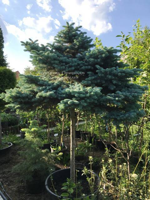 Ялина колюча блакитна Глаука Глобоза (Picea pungens Glauca Globosa) на штамбі ФОТО Розплідник рослин Природа Priroda (136)