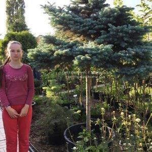 Ель колючая голубая Глаука Глобоза (Picea pungens Glauca Globosa) на штамбе ФОТО Питомник растений Природа Priroda (137)