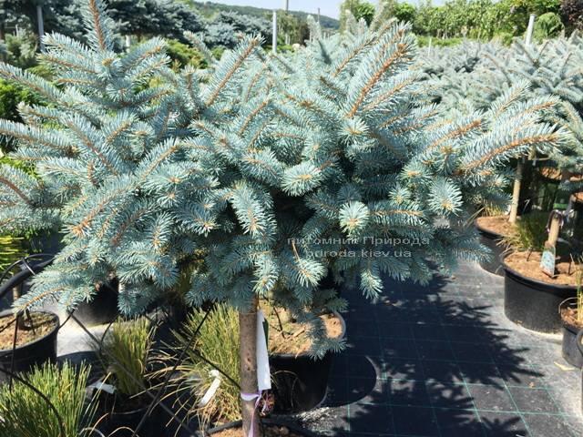 Ель колючая голубая Глаука Глобоза (Picea pungens Glauca Globosa) на штамбе ФОТО Питомник растений Природа Priroda (127)