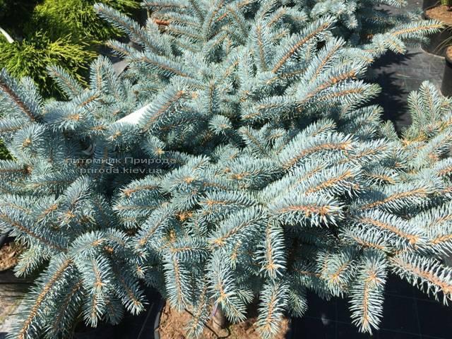 Ель колючая голубая Глаука Глобоза (Picea pungens Glauca Globosa) на штамбе ФОТО Питомник растений Природа Priroda (128)