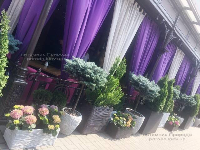 Туя Смарагд и Ель голубая Глаука Глобоза на штамбе. Гостиница Premier Palace Hotel, г.Киев