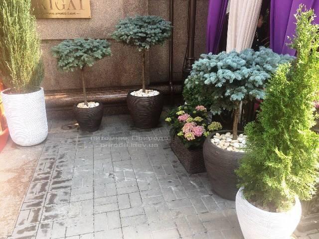 Ель голубая Глаука Глобоза на штамбе. Гостиница Premier Palace Hotel, г.Киев